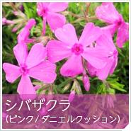 シバザクラ(ピンク/ダニエルクッション)