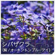 シバザクラ(紫/オーキントンブルーアイ)